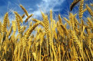 grano siciliano